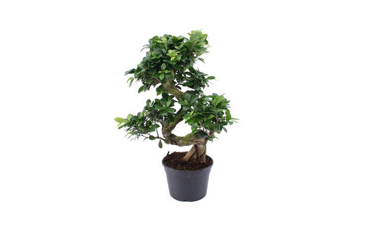 Bonsai Boom Verzorgen : Ficusginsengxl bonsaiboomje xl bonsai boom 55 70 cm