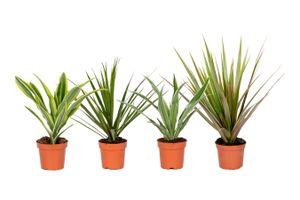 Set van 4 Dracaena-kamerplanten (20 - 30 cm)