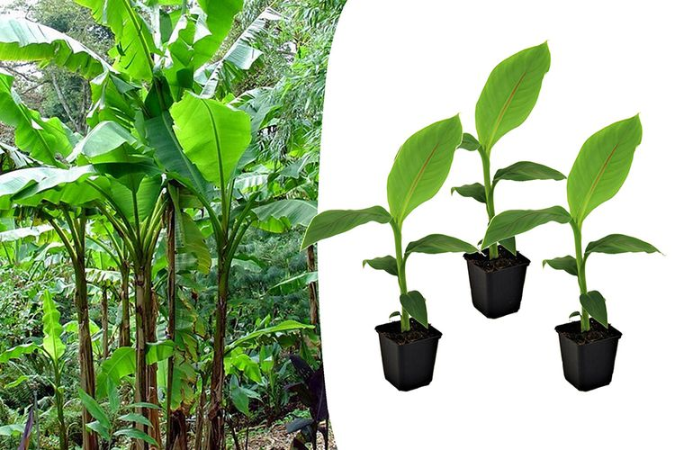 Set van 3 winterharde bananenplantjes