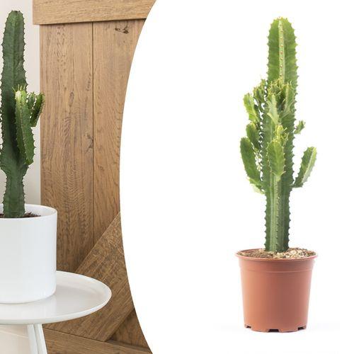 Euphorbia woestijncactus (60 - 70 cm)