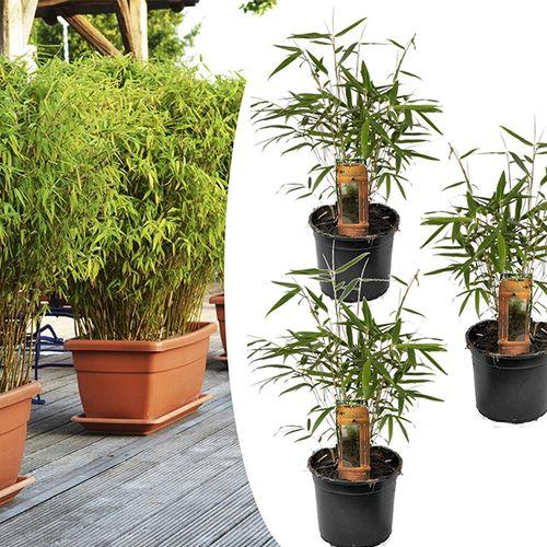3 bamboeplanten