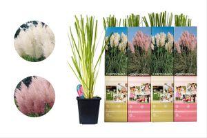 Set van 4 Pampasgras-planten (25 - 40 cm)