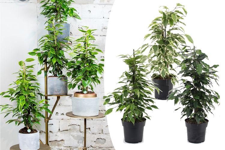 Mix van 3 Ficus Benjamina planten (50 - 60 cm)