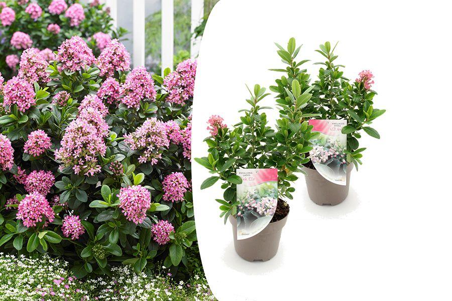 2 Escallonia 'Pink Elle' sierheesters (35 - 45 cm)
