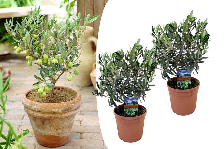 Set van 2 olijfstruikjes (25 - 40 cm)