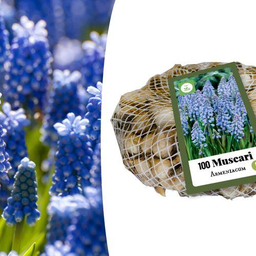 Blauwe druifjes-bloembollen