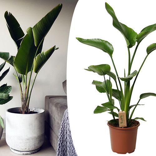 Strelitzia Paradijsvogelplant (80 - 100 cm)