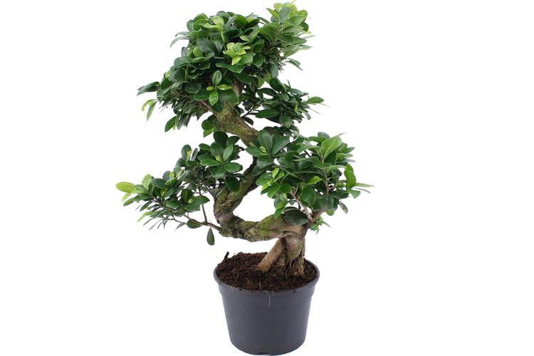 Bonsai Voor Binnen.Ficusginsengxl Bonsaiboomje Xl Bonsai Boom 55 70 Cm