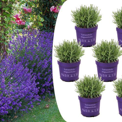 6 Lavendelplanten (15 - 20 cm)
