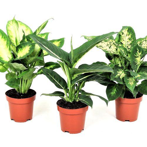 Set van 3 Dieffenbachia-kamerplanten (30 - 40 cm)