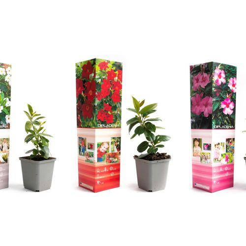 Set van 3 Mandevilla-planten (20 - 30 cm)