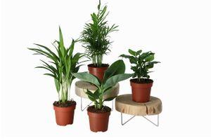 Mix van 4 kamerplanten (20 - 40 cm)