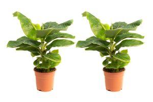 Set van 2 Musa Bananenplanten (50 - 60 cm)