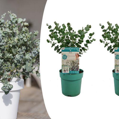Set van 2 Eucalyptusstruiken