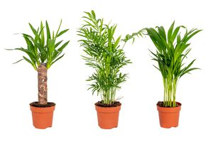 Set van 3 tropische palmen (30 - 40 cm)