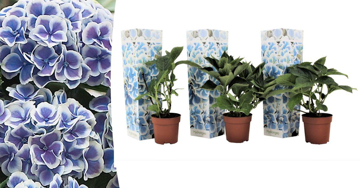 3 hortensias (20 - 30 cm)