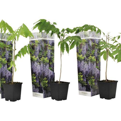 Set van 3 blauweregen planten