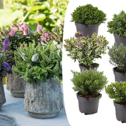 Hebe mix met 6 verschillende planten (15 cm)