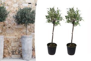 Set van 2 olijfbomen op stam (60 - 80 cm)