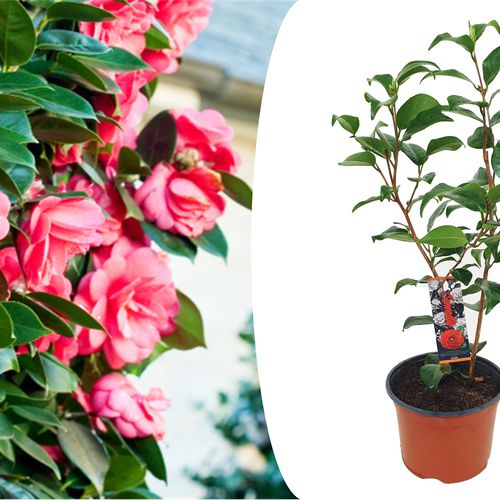 Camellia Japanse roos