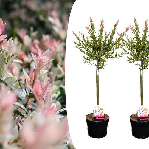 2 Salix Flamingo bomen (60 - 80 cm)