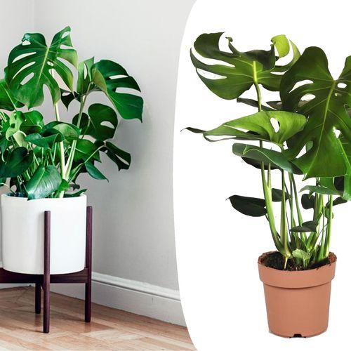 Philodendron Monstera Gatenplant