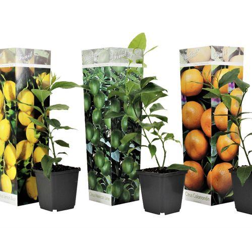 Set van 3 citrusplanten