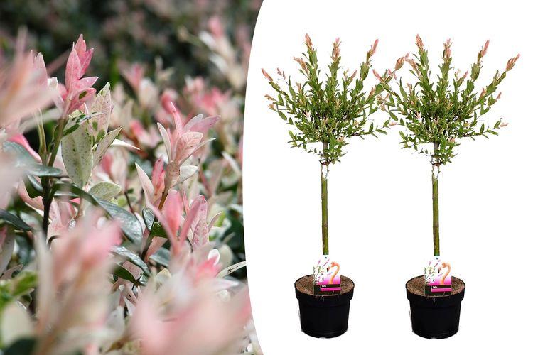 2 Salix Flamingo bomen (75 80 cm)
