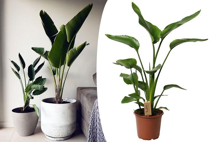 Strelitzia paradijsvogelplant (100 - 120 cm incl. pot)