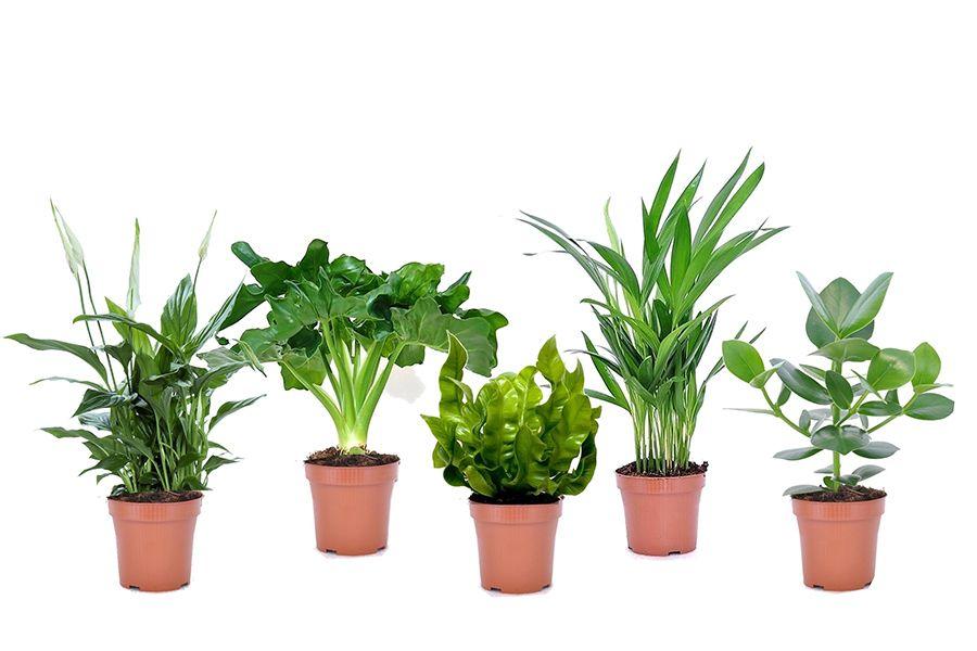 Set van 5 luchtzuiverende plantjes (20 - 45 cm)