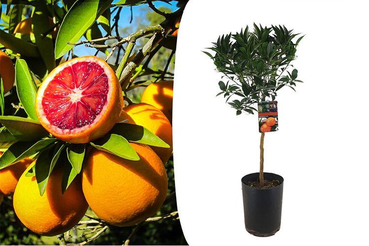 Korting XL bloedsinaasappelboom (100 120 cm)