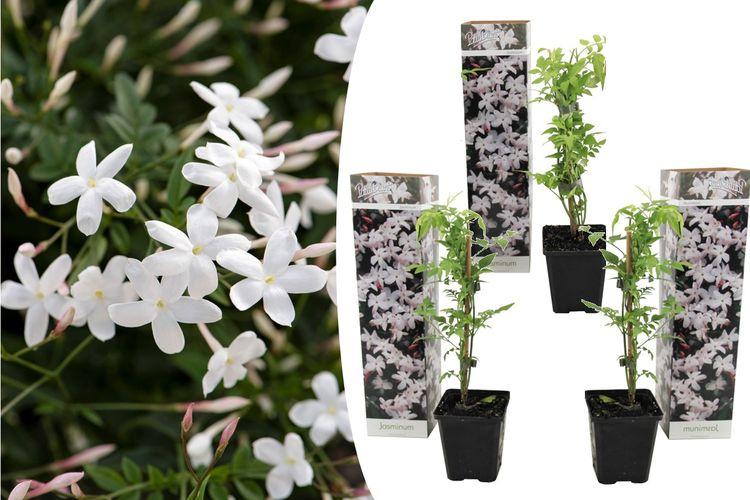 3 witte jasmijnplanten (25 - 40 cm)