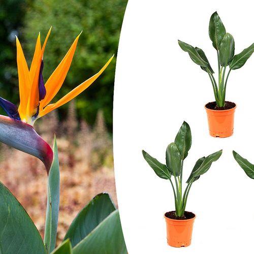 Set van 3 paradijsvogelplanten (20 - 30 cm)
