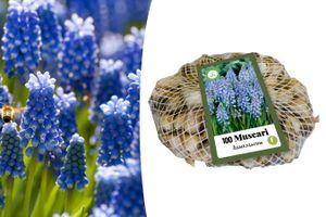 100 blauwe druifjes-bloembollen