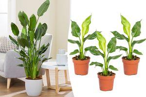 Set van 3 Paradijsvogelplanten (30 - 40 cm)