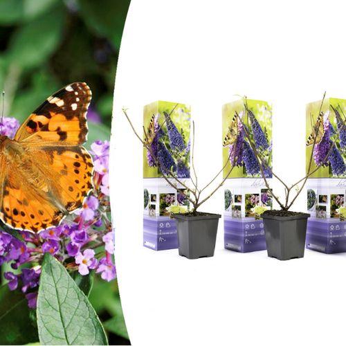 Set van 3 vlinderplanten