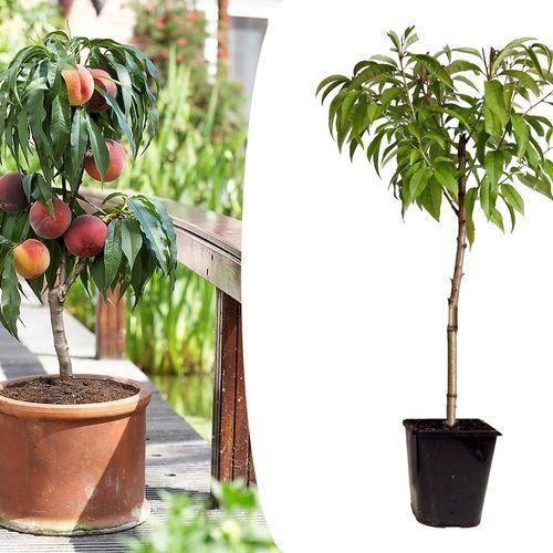 Prunus Persica Dwergperzikboom (55 - 65 cm)