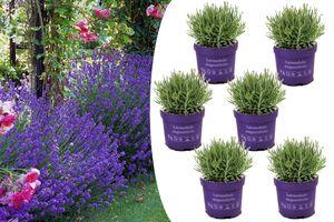 6 winterharde lavendelplanten (10 - 15 cm)