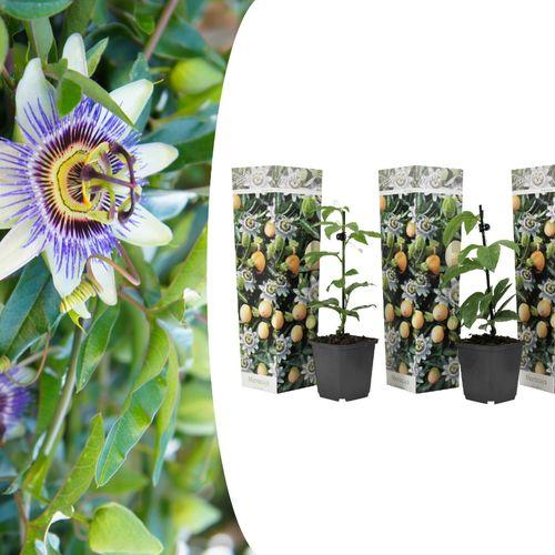 Set van 3 Passievruchtplanten