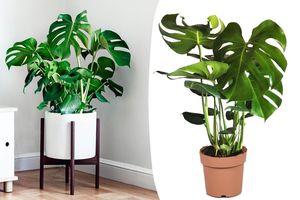 """Faux philodendron """"plante-gruyère"""" (60 - 70 cm)"""