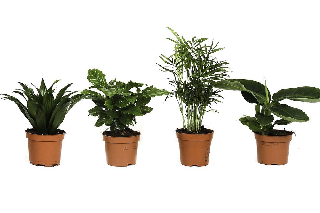 Set van 4 tropische kamerplanten (25 - 50 cm)