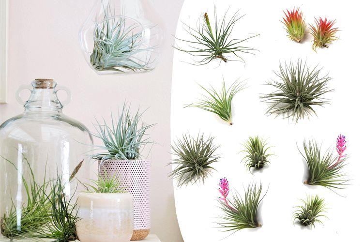 tillandsia plante epiphyte tendance actuelle la fille. Black Bedroom Furniture Sets. Home Design Ideas