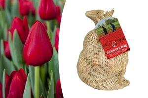 Zak met 35 rode tulpenbollen