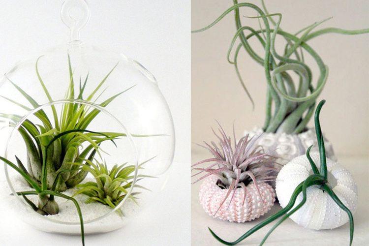 tillandsia plante epiphyte tendance actuelle la fille de l air vavabid participez aux. Black Bedroom Furniture Sets. Home Design Ideas