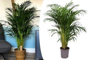 Palmiste multipliant (90 - 110 cm)