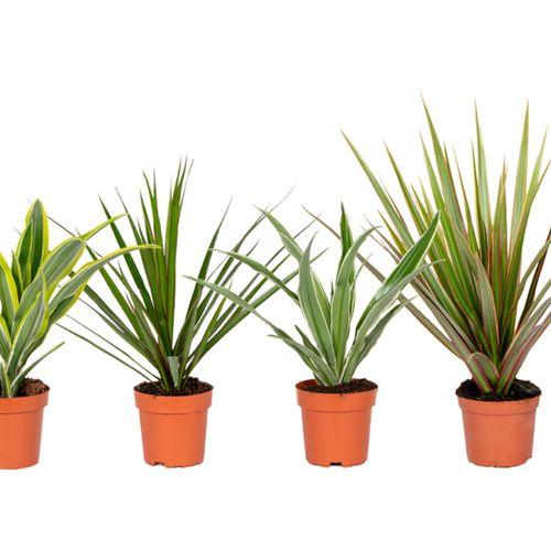 Set van 4 Dracaena-kamerplanten