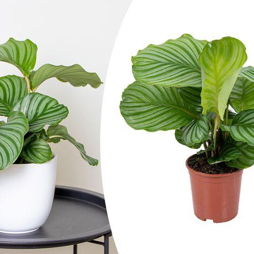 Pauwenplant (Calathea Orbifolia)